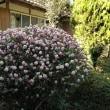 庭で春の香り
