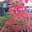 リュウゼツラン(竜舌蘭)数十年に一度の開花が。