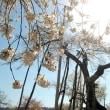 いにしえの桜に。