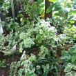 雨に濡れる我が家のツルニチニチソウ 育って透明に!昨年のハオルチア青水晶