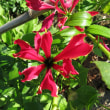 Glory Lily