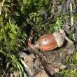ねいの里で春見つけ(ホクリクサンショウウオ)、オシドリ