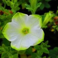 リップグリーンの白いペチュニア