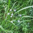 ツリガネニンジン 平地林に咲く