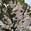 ☂️🚶♀️…塔の島界隈…  早咲き桜   180319^