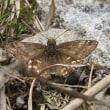 高ボッチ高原・鉢伏山で最近見る事の出来る昆虫 ミヤマセセリ(深山挵)