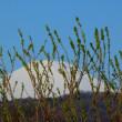 『春の山』 柳の簾