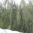 挿し木の柳