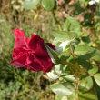 私んちの薔薇だよ✨