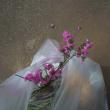 4月23日(月)  朝ゴミ出し 夏羽のユリカモメ