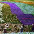 下関 火の山 公園のチューリップ (投稿)