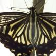 朝日の中のアゲハチョウ