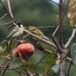 コゲラとシジュウカラとおけさ柿