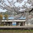 列車の来ない駅の桜