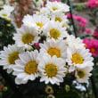 我が家の小菊の花