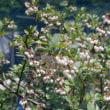 ブルーベリー花盛り