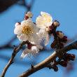 白梅の開花が停滞 (2018/02/14)