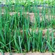 畝肩に植えているレタス