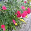 お庭の花と、二つ星てんとう虫☆