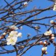 春がきます・・梅が!