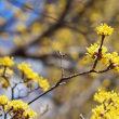 春を彩る黄色の花木