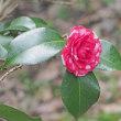 京都府立植物園の椿