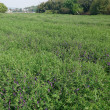 デュラム小麦の出穂とヘアリーベッチの開花