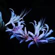 彼岸花 (花 4589)