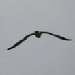 9/26探鳥記録写真-2(狩尾岬の鳥たち:ヤマガラ、コゲラ、イソシギほか)
