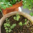 ニゲラを植えました