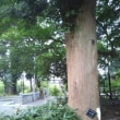 巨木探訪・深見神社のハルニレ