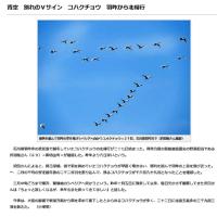 野鳥ハクチョウなど 邑知潟・田圃  180227(火)