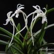 フウラン山採り(付けなし)の花