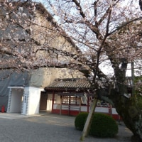 京都の桜(18/3/25)東寺の不二桜がそろそろ見頃です!