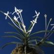 過去開花の富貴蘭「高野の華」の花