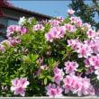 庭のつつじ (花が美しい)