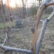 エゾシカ食害のリンゴの木保護