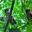 アオバズクの雄と雌の見分け