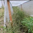 大豆の刈り取り作業の続き