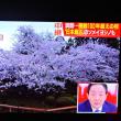 4/25 Jチャン 青森、弘前公園のの桜  130歳とか