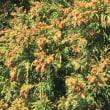 花粉とコンチェルトケルン