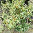 柿の生る風景