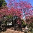 ラ・トゥール #三田 のカンヒザクラ(公開空地の #桜 )