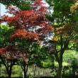 夏になり赤から緑に…ノムラカエデ