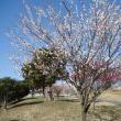 四季折々847  鑓水小山緑地の梅