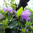 オオバナノエンレイ草、延齢草、紫躑躅庭だより  4/21誕生花・・・ミムラス