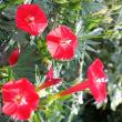 ハゴロモルコウソウ 羽衣縷紅草
