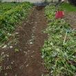 今年のサツマイモは3つの台風と秋の長雨の影響が出ています