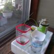 バジルをペットボトル水耕栽培してみます。