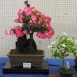 ギボウシとサツキの盆栽(その15)